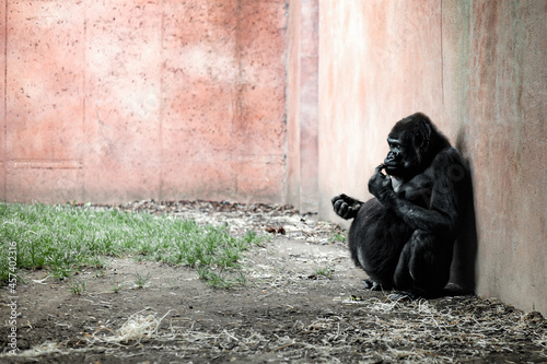 A day in the life of a gorilla