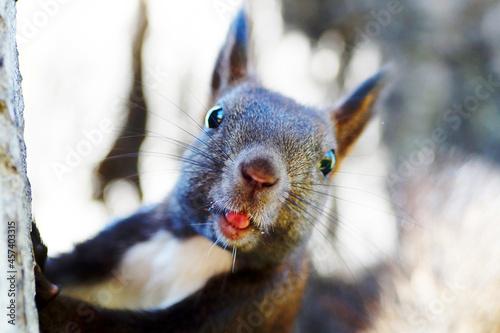 Fototapeta premium The squirrel stares intently at the camera