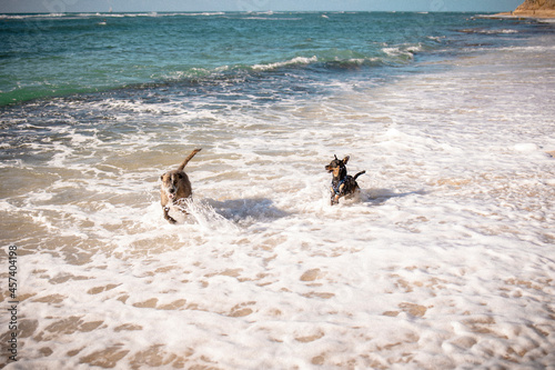 Dogs chasing one another in the sea on a warm, clear afternoon in Oahu