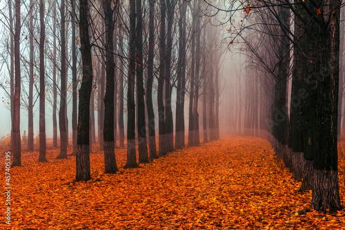Obraz na plátně Poplar Forest - Straight columns of poplar trees in a misty forest