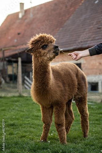 Fototapeta premium alpaca on the farm