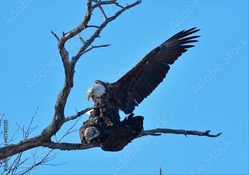 Fototapeta premium Mating Bald Eagles