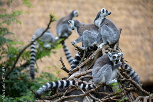 Fototapeta premium family of cute and playful Ring-tailed lemur, endemic animal in Madagascar