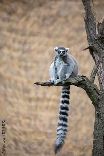Fototapeta premium cute and playful Ring-tailed lemur, endemic animal in Madagascar