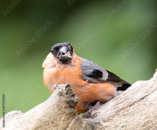 Slika na platnu Closeup shot of a Eurasian bullfinch bird on a branch