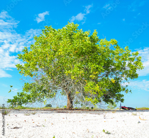 Fotografia A beautiful eucalyptus tree on the barren sand