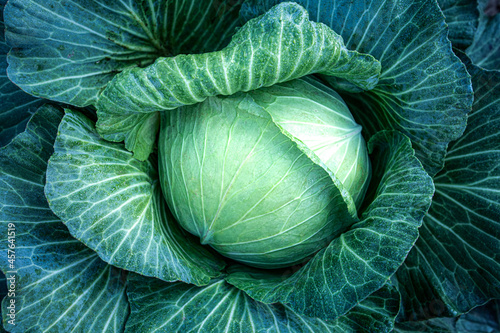 Photo Big green cabbage on the farm. Vegetarian food background.