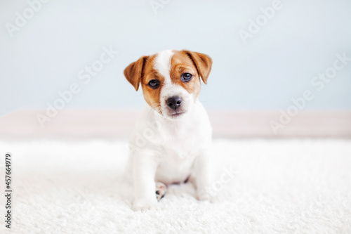 Obraz na plátně Cute little Jack Russell terrier puppy is sitting on a white carpet
