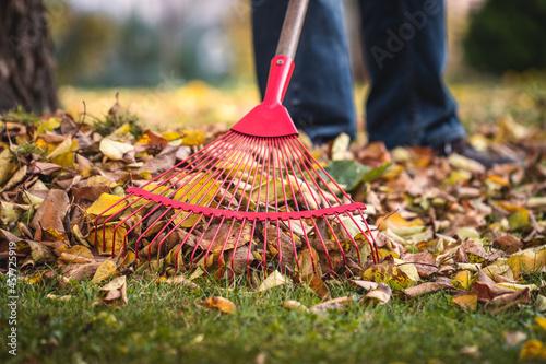 Fotografie, Obraz Raking leaves from lawn in garden