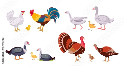 Foto Farm poultry, domestic birds family, hen and rooster
