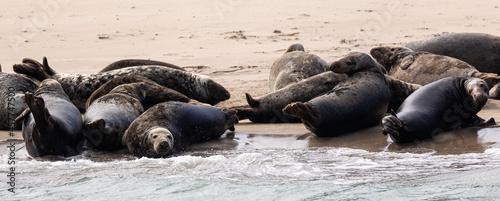 Canvas Print Grey seal colony off Kerry coast, Ireland