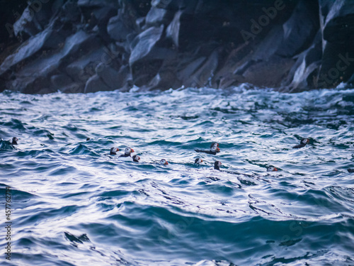 Stampa su Tela Puffins in the waves, Ramsey Island, Pembrokeshire
