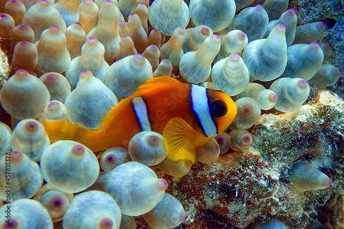 Fotografering Red Sea anemonefish - Red Sea clownfish  (Amphiprion bicinctus) in bubble anemone