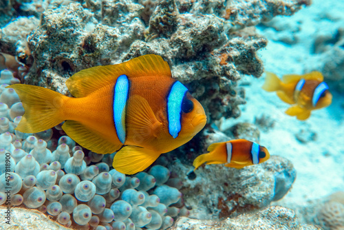 Photo Red Sea anemonefish - Red Sea clownfish  (Amphiprion bicinctus)