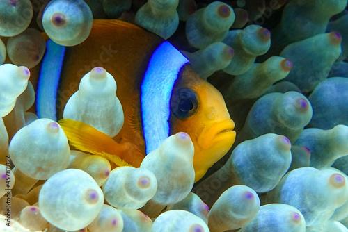 Fotografiet Red Sea anemonefish - Red Sea clownfish  (Amphiprion bicinctus) in bubble anemone