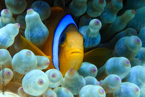 Canvastavla Red Sea anemonefish - Red Sea clownfish  (Amphiprion bicinctus) in bubble anemone