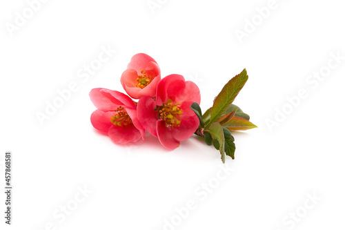 Foto rosier du Japon