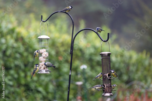 Fototapeta Great Tits and Blue Tits on Bird Feeders in an English Garden
