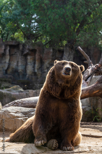 Fotografiet Brown bear on rocks at the zoo Concept of conservation of wildlife in captivity