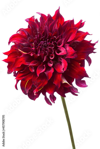 Canvas-taulu Red dahlia isolated on white, exotic flower .