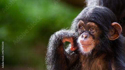 Fotografia Close up portrait of a cute baby chimpanzee being happy