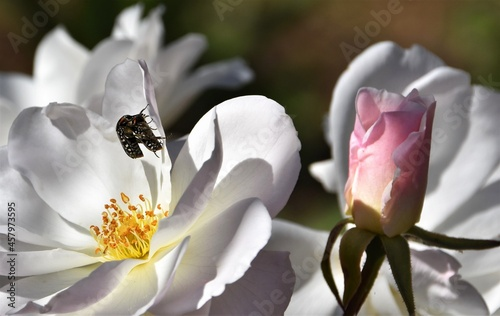 Valokuvatapetti Close up of a beautiful white Rose with two Common Dotted Fruit Chafer