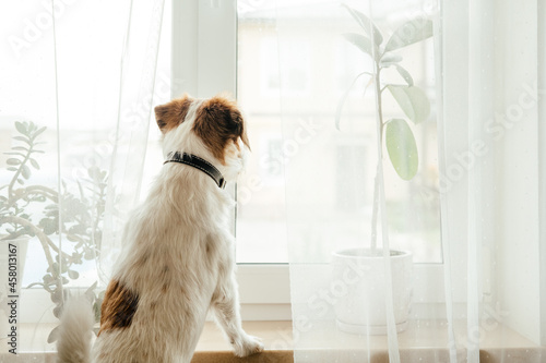 Obraz na plátně Purebred Jack Russell Terrier looking at the window and waiting for the owners