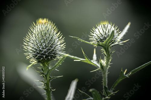 Obraz na plátně Closeup of thistle flowers on a blurry nature background