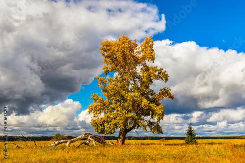 Fotografie, Obraz huge poplar with yellowed foliage in an autumn day
