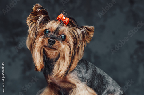 Cute little dog yorkshire terrier breed against dark background Fototapet