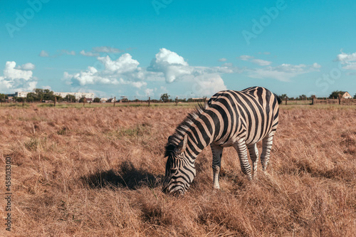 Fototapeta premium Cute zebra walking along the prairie and eating grass on a sunny day. Wild horse in the reserve in the National Park