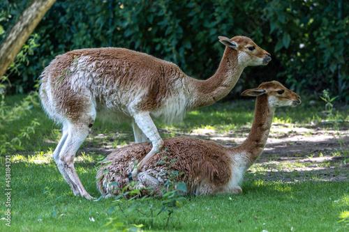 Fototapeta premium Mating Vicunas, Vicugna Vicugna, relatives of the llama in a German park