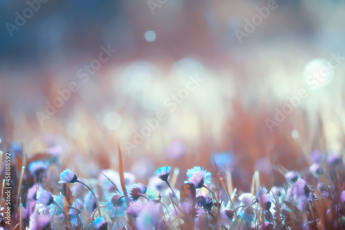 Fotografie, Obraz flowers daisies background summer nature, field green flowering colorful daisies