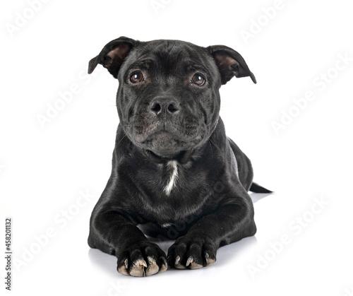 Fotografering staffordshire bull terrier