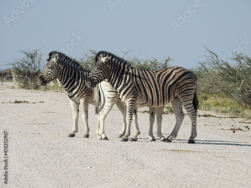 Fototapeta premium Zebras in the field
