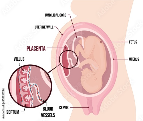 Fotografiet Human Fetus Placenta Anatomy