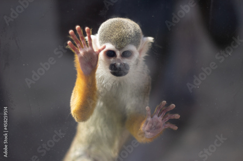 Canvastavla Monkey in the zoo behind the glass