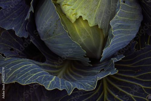 Photo Juicy ripe cabbage grows in farm fields
