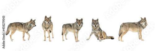 Fotografering gray wolves isolated on white background