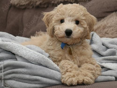 Cuadros en Lienzo Male Poochon Puppy Laying On A Blanket