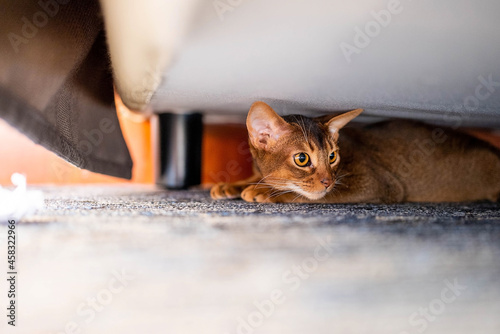 Tablou Canvas Cute Abyssiniancat Hiding Under The Bed.