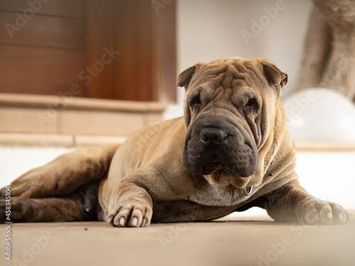 Obraz na plátně Portrait Of Dog Resting On Floor At Home