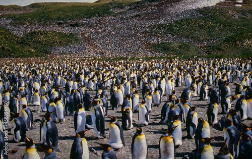 Obraz na plátně King Penguin Colony, Heard Island