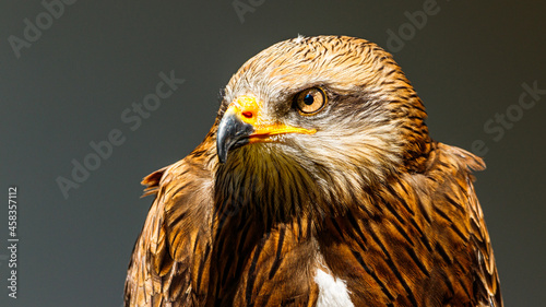 Photo Close-up Of Eagle Against Gray Background