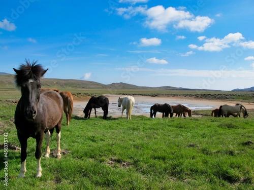 Fototapeta Iceland Horses In A Field