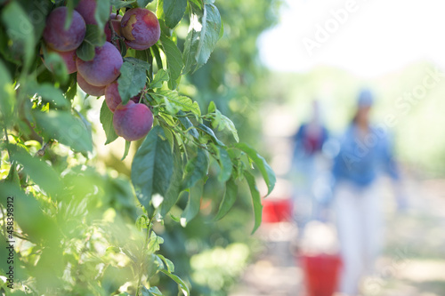 Photo Fresh ripe red organic plums hanging on tree branches in summer fruit garden