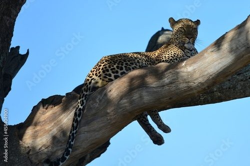 Fotografie, Obraz Low Angle View Of Leopard In A Tree