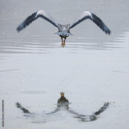 Fotografie, Obraz Heron Flying Over A Water