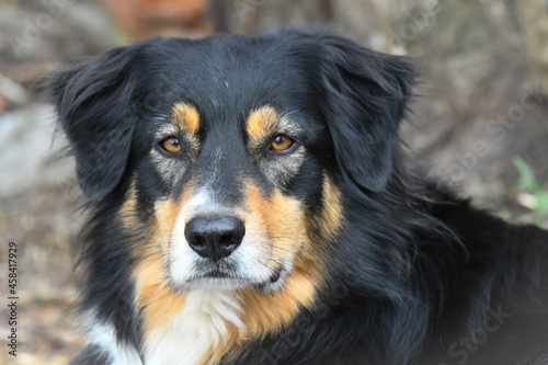 Australien Shepherd Dog Fototapet