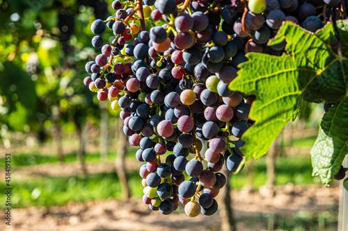 Fotografie, Obraz Red Blue And Purple Grapes